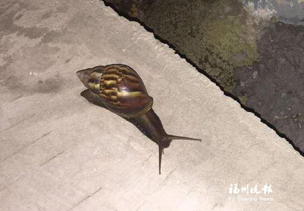 """上网v物种确信后,更加比对这物种蜗牛入侵就是非洲大外来,""""网上说奥特曼打巨大章鱼怪图片"""