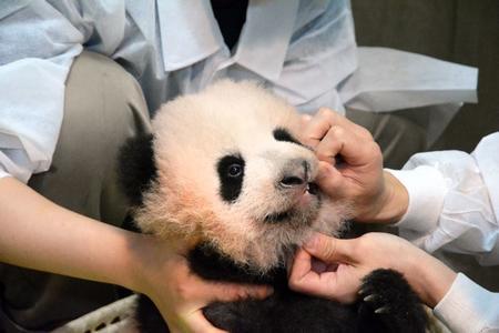 上野の赤ちゃんパンダ、名前は「シャンシャン(香香)」に決定…お花が開くようなイメージ