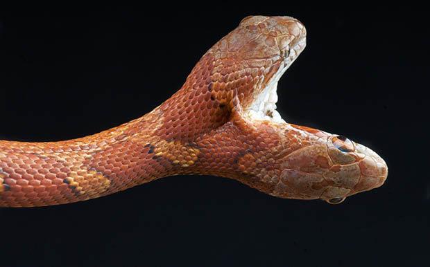 双头或多头蛇在自然界中是十分罕见的,就如同人类的连体婴儿一般.