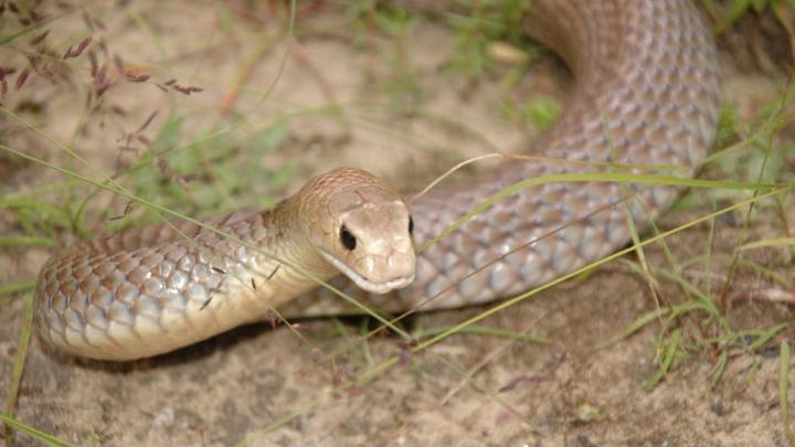 昆士兰 townsville 男子被蛇咬后中毒身亡