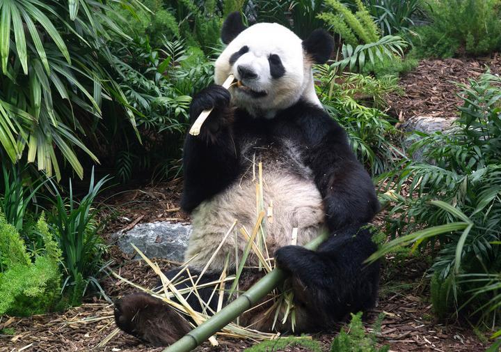 大熊猫于卡加利动物园首次向公众亮相