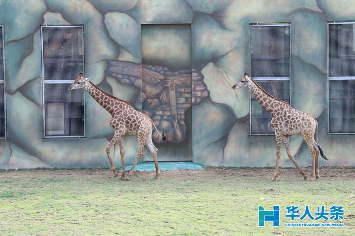 访问团一行乘坐游览车参观了福建永鸿野生动物世界,欣赏着东北虎