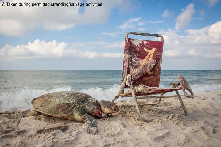 """世界上最稀有的海龟如此惨死,照片""""令人心碎"""""""