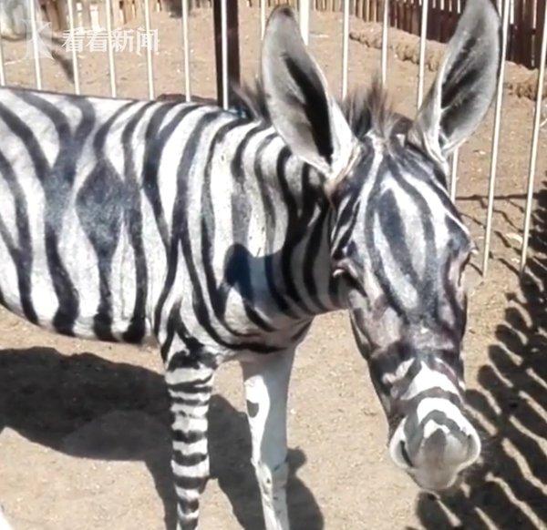 神操作!埃及动物园给驴涂颜料冒充斑马 被识破后依旧嘴硬