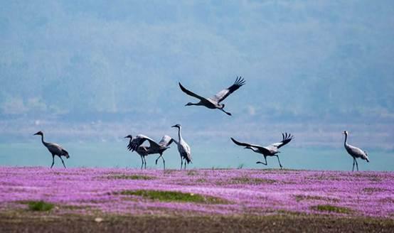 10月18日,灰鹤在江西鄱阳湖都昌保护区飞翔,觅食,与紫色花海相映成趣.