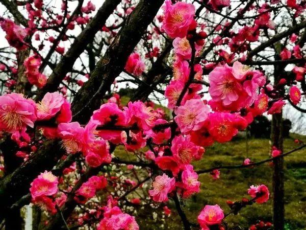 这个春天去哪里赏梅花?湄潭乾艺梅园梅花三弄惹人眼